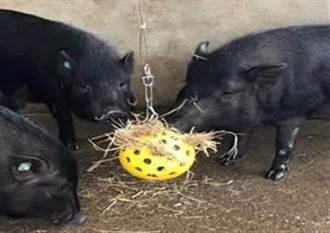 台灣原生種蘭嶼豬飼養小巧思 獲國際認可又兼顧動物福祉