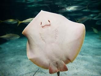 網紅搔癢魟魚 下秒笑成瞇瞇眼 專家氣炸:牠快窒息死了