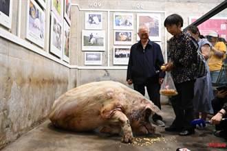 汶川震災精神象徵豬堅強壽終正寢 將製作成標本