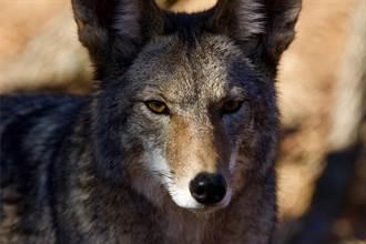 狼緊跟在黑熊身後和睦散步 怕脫隊小碎步追上 專家驚呼