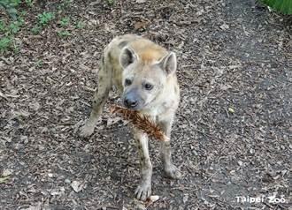 鬣狗玩玩具嗨到翻肚 同伴想加入被赶跑 无辜眼神萌翻