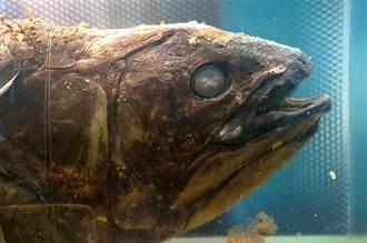 誤以為活化石四腿魚僅能活20年 研究魚鱗驚覺有百年壽命