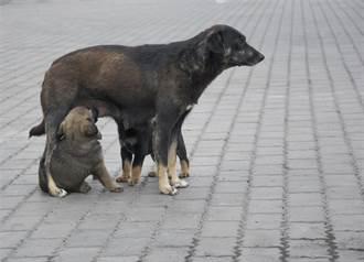流浪狗媽乞食被打到無力吃東西 為了看寶寶硬撐網淚崩