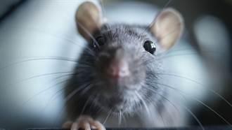 打破認知!公鼠懷孕誕10幼鼠 陸科學家創全球首例