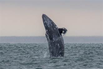寶寶變賞鯨對象不放心 灰鯨媽偷靠近船尾 探頭觀察人類
