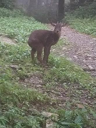 防疫期間人變少動物卻多了!直擊北大武山長鬃山羊覓食