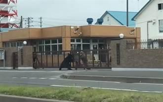 大黑熊攻擊北海道陸自基地 1名自衛隊受傷