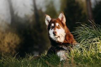 10個月大雪橇犬結紮慘挨一刀 醒來秒拆門報復獸醫傻眼