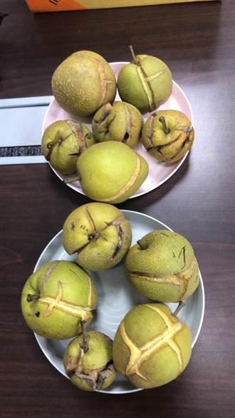 梅雨造成苗栗卓蘭高椄梨爆裂 嚴重果損