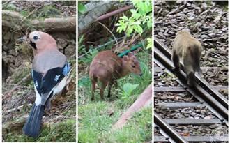 疫情影響 阿里山換一批遊客 動物成來賓