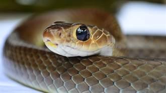松花蛇借宿好心沒驅趕 15年後她家屋頂變驚人蛇窟