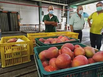 玉井農會啟動芒果收購 總幹事籲政府牽線拓展內銷市場