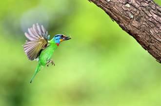 防疫兼消遣 台東鳥友全程記錄五色鳥育雛