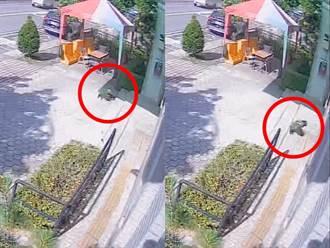 鸚鵡迷路頻撞派出所玻璃嚇壞警 尋獲飼主笑稱:牠還知道報警