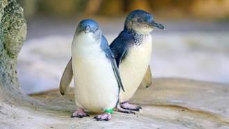 28隻「惡魔動物」放生小島 3000隻小企鵝竟遭牠屠殺