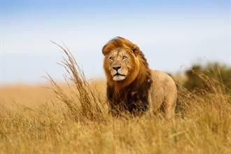 馬路撞見獅子猛搖尾巴 市民超恐慌 警到場一看傻眼了