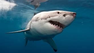 無視鯊魚警告 海鳥大膽搶食 慘被一口活吞