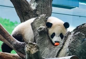 北市動物園大貓熊實體生日趴取消 「圓寶」改線上抓周