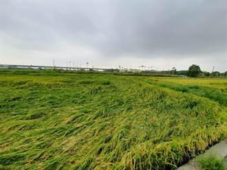 雨彈狂炸稻穗倒伏瓜果落 彰化災損通報12.11公頃還在累計中