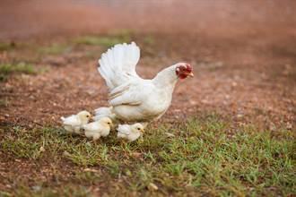 雞媽媽為保護孩子大戰毒蛇 超狂戰鬥力網全看呆