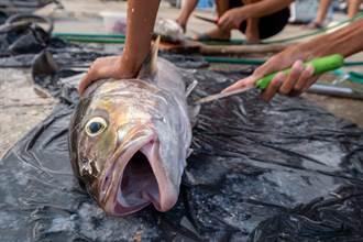 漁夫船上新鮮現宰 魚肚剖開藏天大驚喜 眾人眼睛亮了