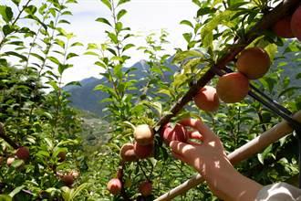 梨山風景區水果季開跑 甜美梨山蜜李搶鮮上市
