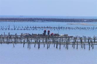 連日降雨水質變化大 雲林沿海搶收牡蠣