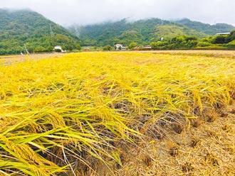 台東一期稻倒伏 農民急搶收