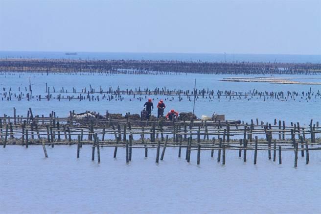 連日降雨水質變化大,雲林縣沿海地區蚵農搶收牡蠣。(張朝欣攝)
