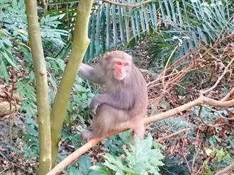 台灣獼猴幫抓酒駕犯 他酒後騎車上山抓猴竟摔傷遭逮