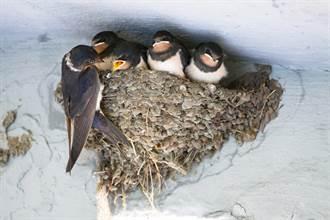 拿泡麵碗當巢育兒 燕子寶寶拗嘟嘟等鳥媽回家 逗笑萬人