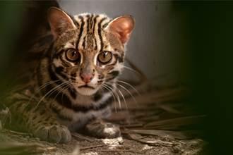 婦撿流浪幼崽回家 長大後驚覺不像貓 才知養到珍稀動物