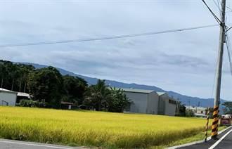 池上灌區一期稻大豐收 萬安有機田減產5成