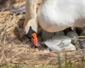深夜河水暴漲 他手製木筏救一窩天鵝蛋 隔天這幕暖哭全網