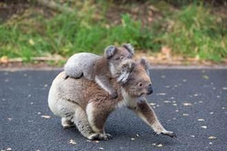 無尾熊媽媽失明 路邊盲走仍硬撐緊護寶寶 引眾人鼻酸
