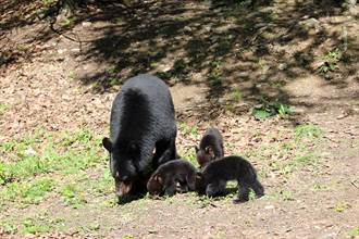 黑熊一家外出覓食遇惡犬 幼崽嚇壞逃上樹 媽霸氣奔出護子