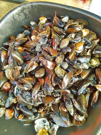 孔雀蛤入侵 雲林台西文蛤產量腰斬