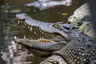 居民驚見3公尺巨鱷趴門前 張血盆大口怒戰警方