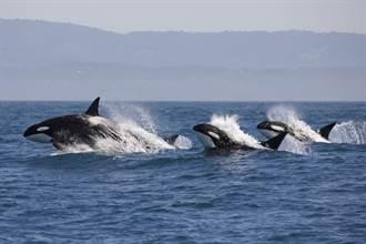 出海慘遇30頭虎鯨圍攻 驚魂2小時船員超抖:太殘暴