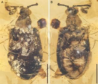 昆蟲界史特龍 一億年前甲蟲全身長滿肌肉