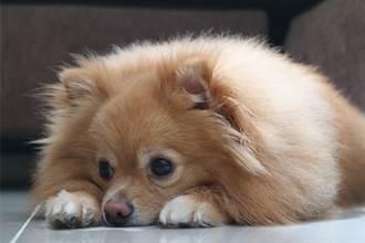 博美狗被剖半卡籠裡主人嚇哭 見真相眼神死:睡得很熟