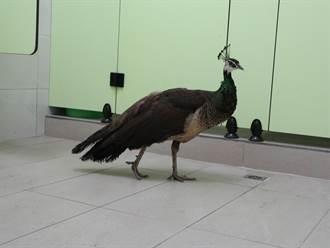 台南柳營國中驚見孔雀來訪 動保人員到場孔雀竟先逃了
