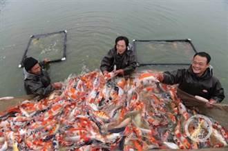 陸錦鯉第一村三代養魚人見證
