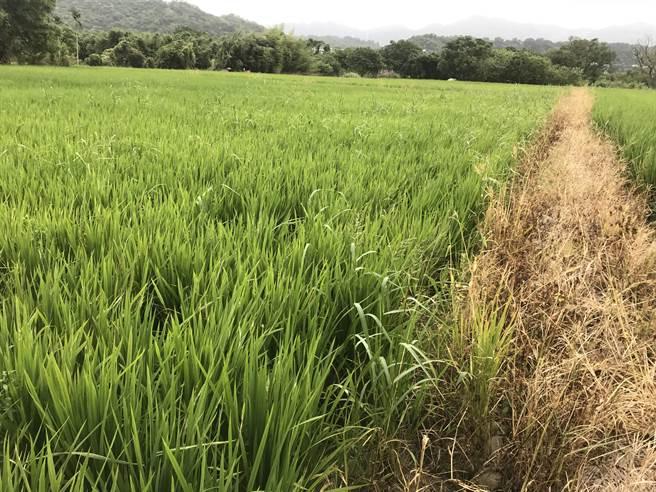 疫情加水情雙重衝擊,桃園市管河川免收使用費,圖為河川區申請種植稻米。(水務局提供/蔡依珍桃園傳真)
