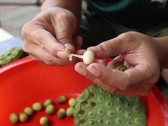 食農教育線上化 居家就能賞蓮、體驗剝蓮子