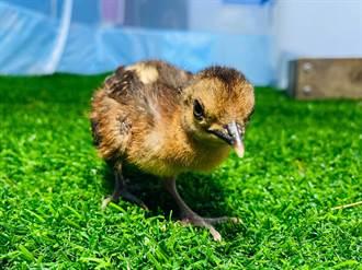 巴拉望孔雀雉寶寶誤認保育員當媽 毫無戒心吃到度估萌翻