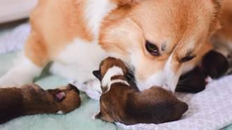 4幼崽出生後夭折!母狗絕食多日 1舉動引眾人鼻酸