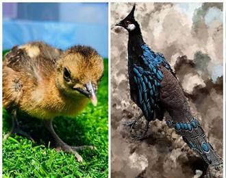 臺北市立動物園再傳喜訊 巴拉望孔雀雉的「孔雀」蛋孵化成鳥了