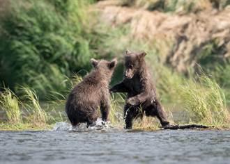 黑熊媽帶2幼崽闖游泳池 超萌戲水片曝光網全融化