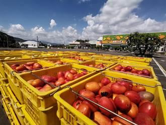 台南次級品芒果收購啟動 官田農會首日收8公噸